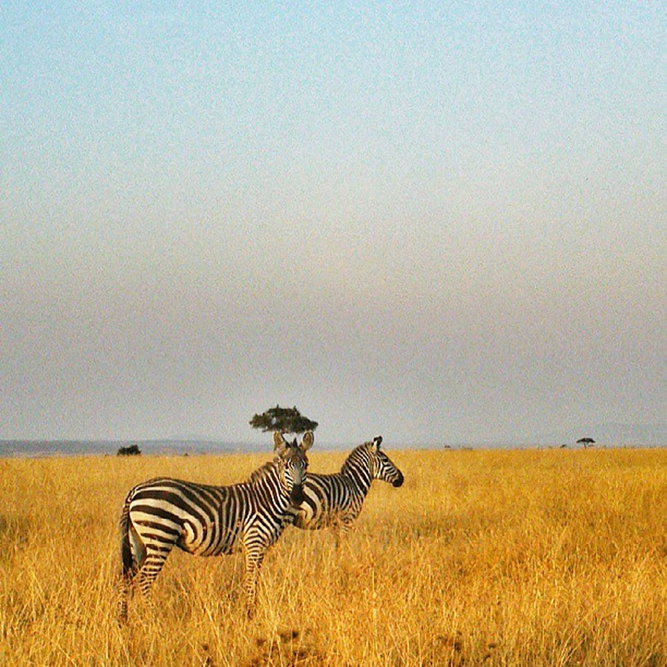 Welcome to the Mara!! Sony_xperia AEP Xperiap MagicalKenya Snapseed Kenya