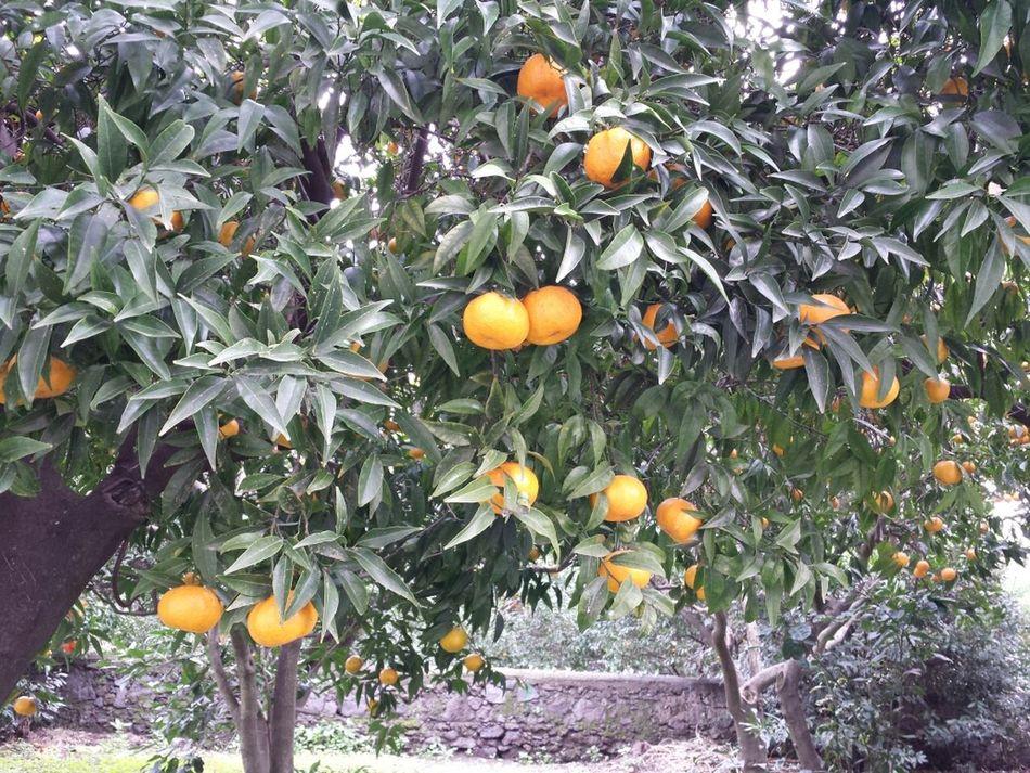 Pianta mandarini Mandarini Boscoreale Frutta
