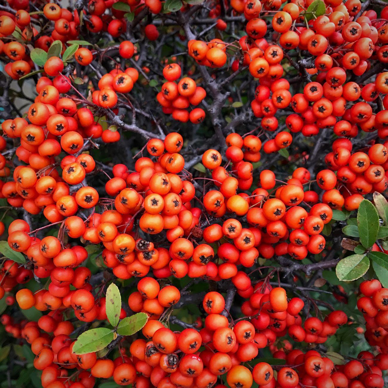 Pyracantha ピラカンサ Gunma Autumn