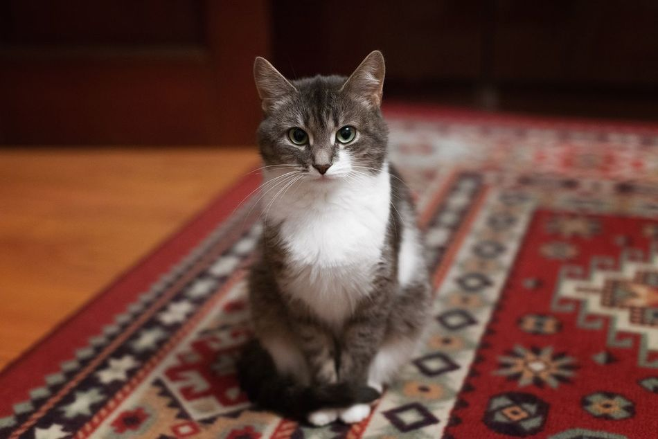 Domestic Cat Pets Indoors  Feline Mammal Domestic Animals Cat Home Interior One Animal Looking At Camera Sitting Animal Themes Portrait No People Day Cats