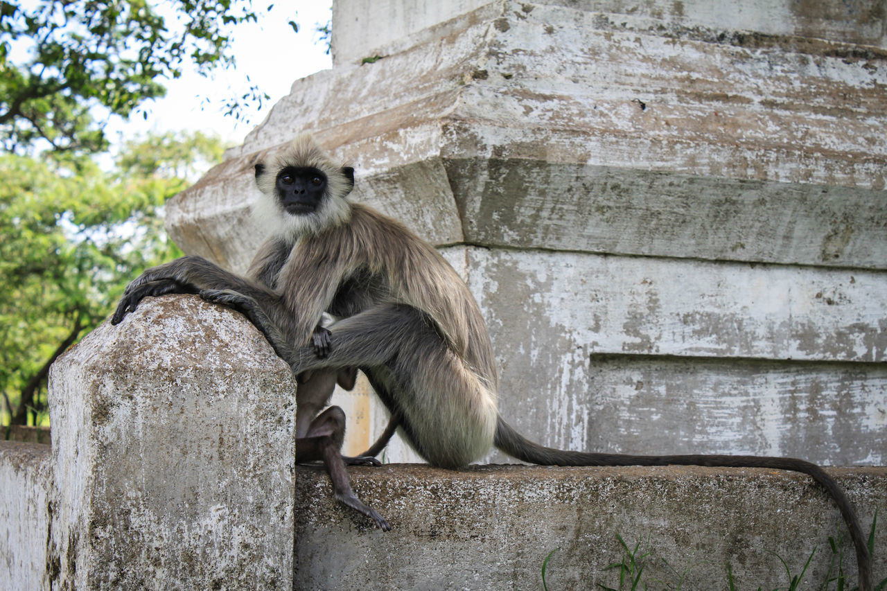 Animal Themes Animal Wildlife Animals In The Wild Baby Baby Monkey Day Gray Langurs Mammal Monkey Nature No People Outdoors Primate Sitting Sri Lanka Tail