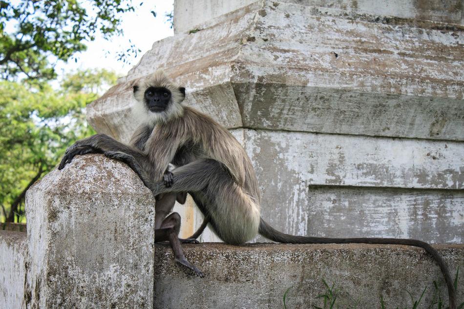 Animal Themes Animal Wildlife Animals In The Wild Baby Baby Monkey Day Gray Langurs Mammal Monkey Nature No People Outdoors Primate Sitting Sri Lanka Tail