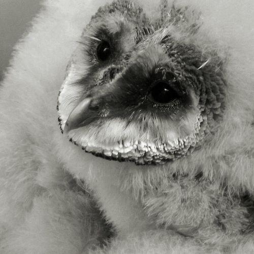 Baby Owl Owl Owllife Owl Photography Walking Around Owl Eyes Turbury Woods Birds Of EyeEm  Bird Photography