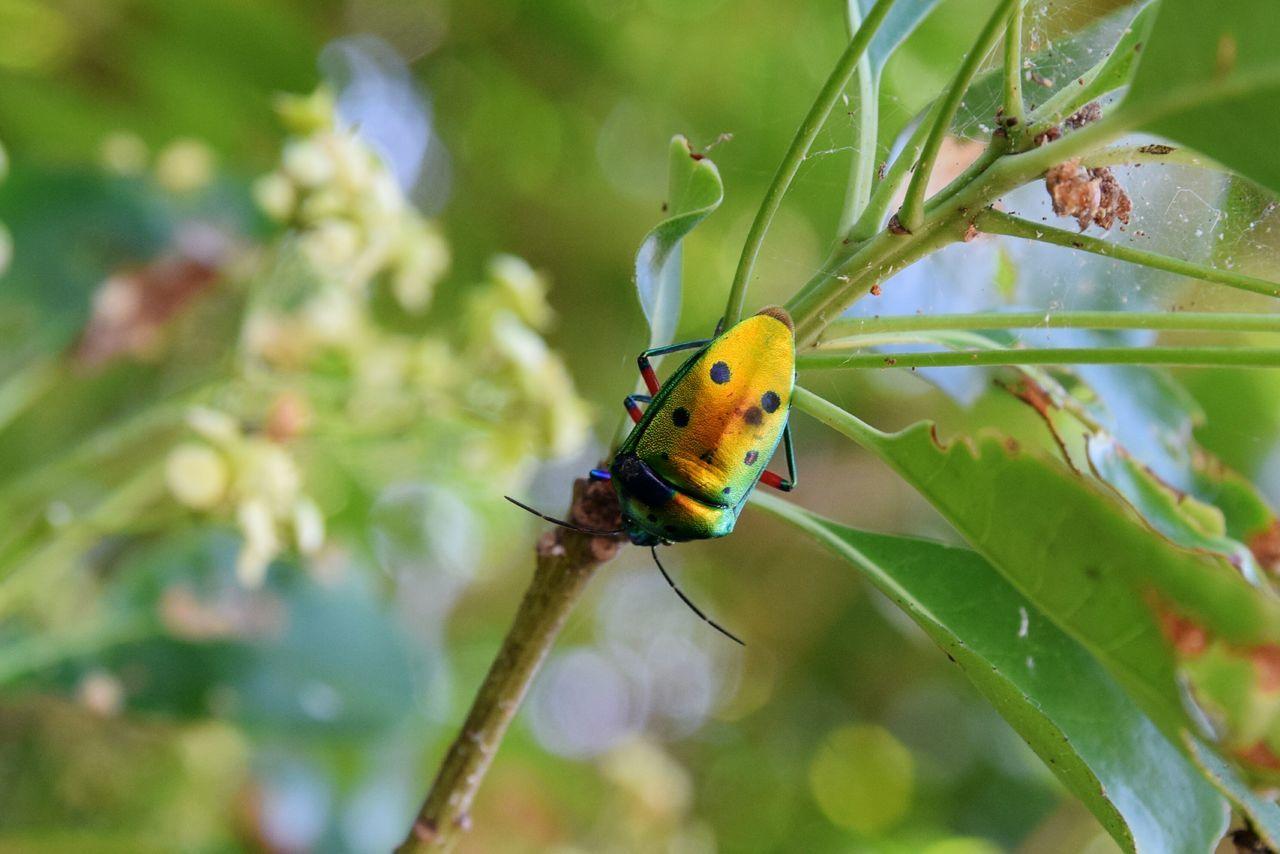 ナナホシキンカメムシ Jewelbugs Stinkbug カメムシ 八重山諸島