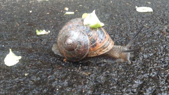 Wet Day Rainy Day Wet Rainy Rain Snail Snail Collection Leaf Leaves On The Ground Shell Snail Shell Ground Concrete Path Nature Nature_collection Nature Photography Slimy Slimy Snails Swirly Apex Tentacles Gastropoda Mollusca Nature On Your Doorstep