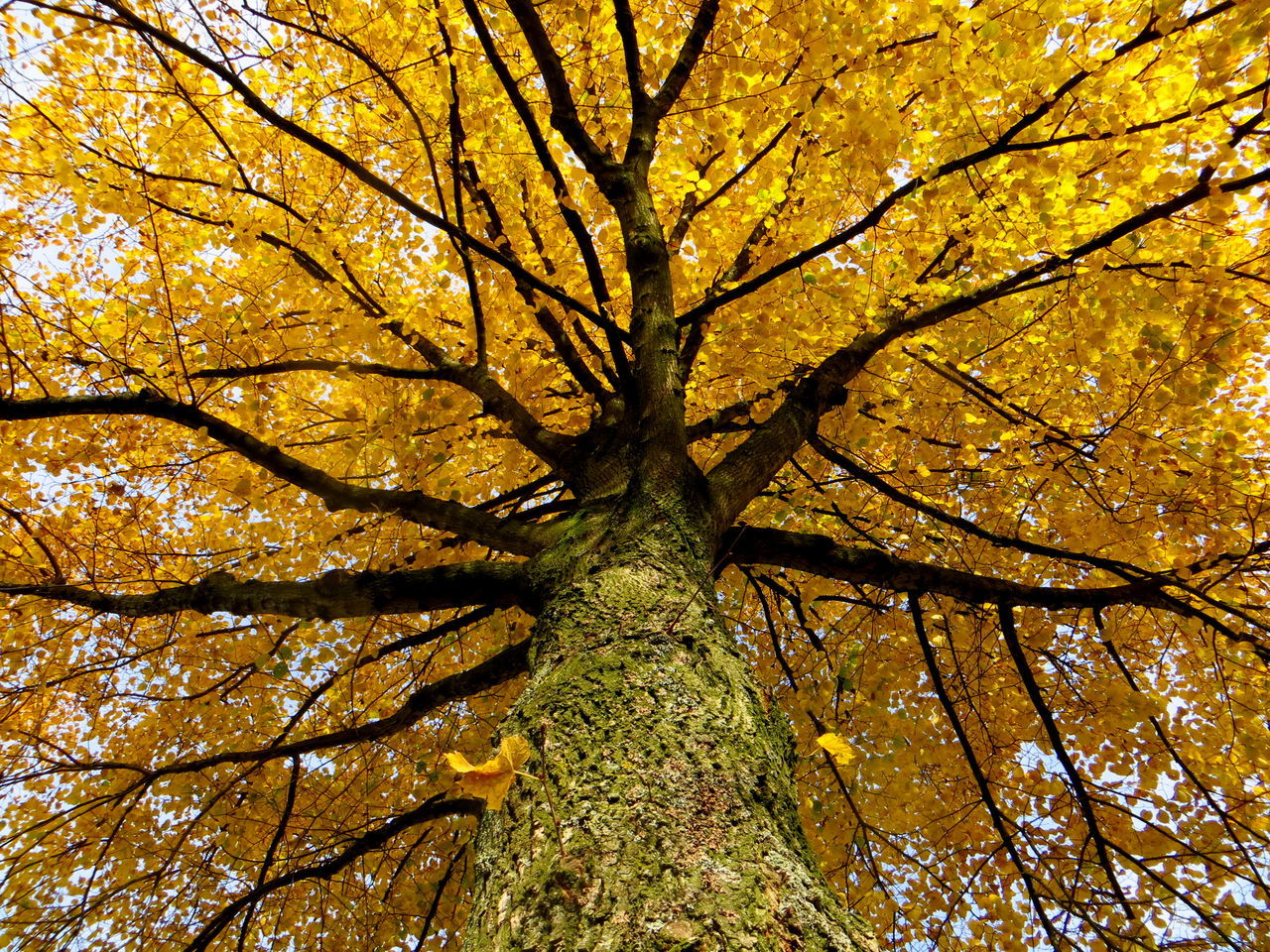 Yellow Linden Tree: watching the leaves fall Autumn Autumn Collection Autumn Colors Autumn Leaves Autumn🍁🍁🍁 Backgrounds Beauty In Nature Branch Close-up Day Fall Fall Beauty Fall Colors Fall Collection Growth Linden Linden Tree Low Angle View Nature Outdoors Sky Tree Tree Trunk