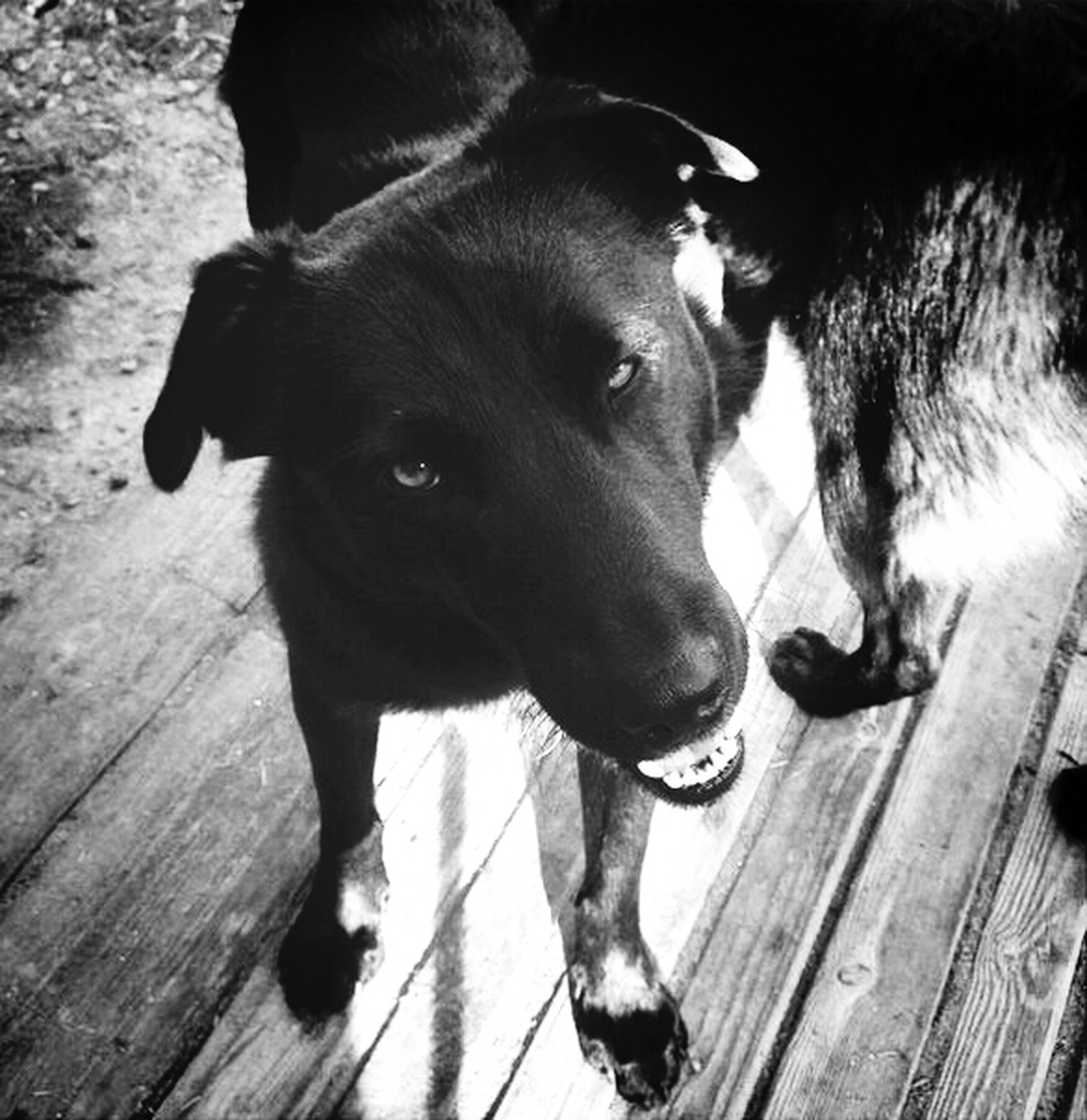 pets, domestic animals, animal themes, mammal, one animal, dog, black color, looking at camera, indoors, portrait, two animals, pet collar, high angle view, no people, zoology, standing, young animal, relaxation, black, sitting