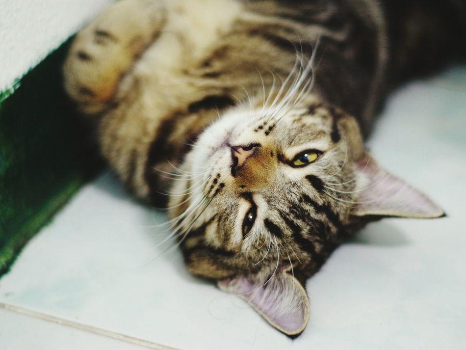 One Animal Pets Domestic Cat Domestic Animals Indoors  Animal Themes Tabby Cat Close-up Whisker Ocicat Americanshorthair Catwakeupcall Catsleeping Catslee Manuallenses Pentax M 50 F 1.7 PENTAX K01