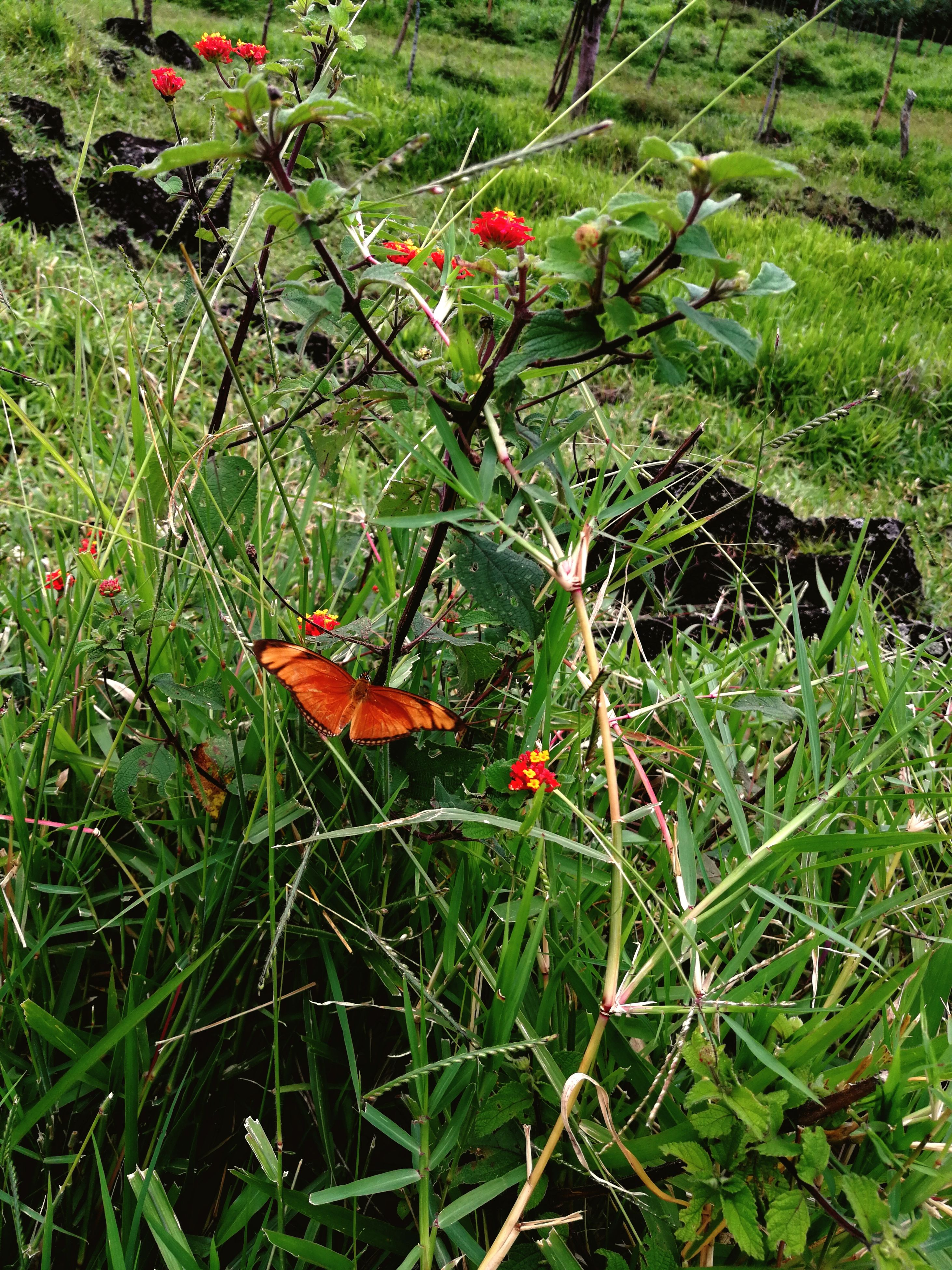 growth, grass, nature, green color, red, outdoors, leaf, no people, field, day, plant, beauty in nature, close-up, freshness
