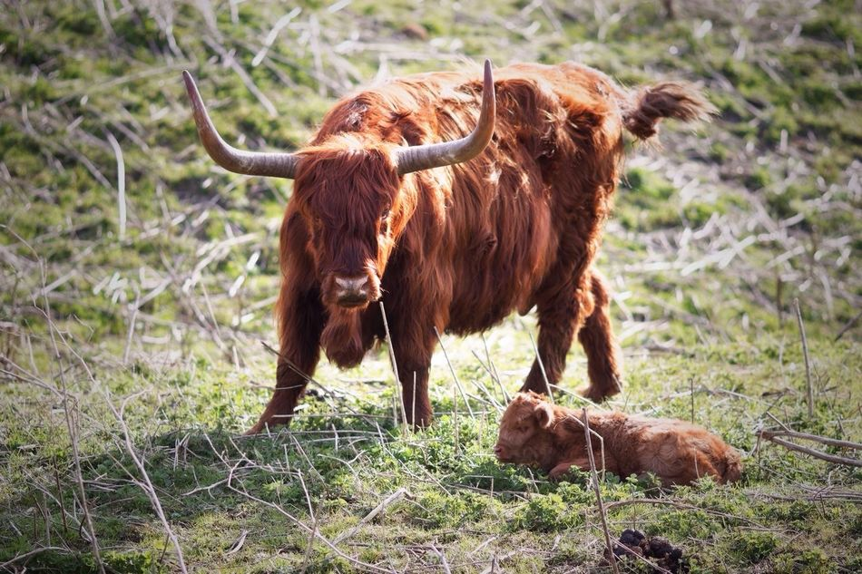 Protectieve Mama Newly Born Highland Cattle Animals In The Wild