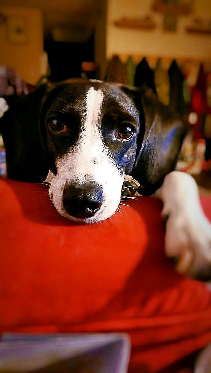 pets, dog, domestic animals, one animal, animal themes, mammal, looking at camera, indoors, portrait, home interior, animal head, close-up, no people, red, beagle, day