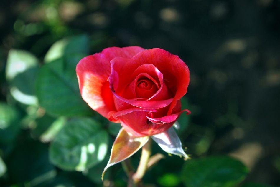 Red Rose Close-up Nature <3  Eyem Nature Lover Hanging Out Taking Photos ❤ Urban Spring Fever - at Gurgaon India