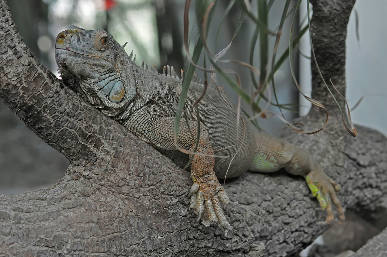 Lezard Reptiles Iguana Iguane Animals Animaux Photos Around You Zoo De La Palmyre Nature