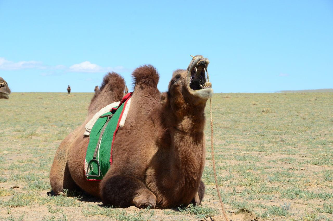 Beautiful stock photos of hump day,  Animal Hair,  Animal Themes,  Bactrian Camel,  Camel