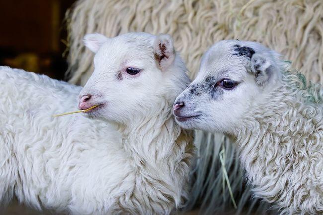 Easter Ready Lambs Schafe Osterlamm Lamm Tiere Animals Easter Lamb Sheep Lamb Photooftheday Eye4photography