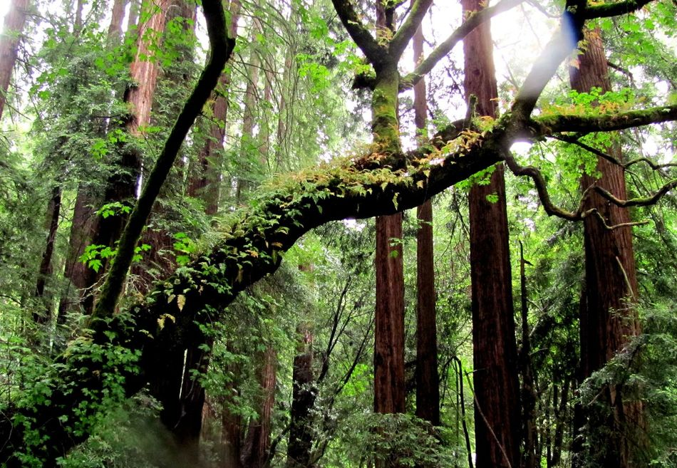 Ancient Forests California Redwoods Change Forest Green In The Forest Nature Rain Tranquility Tree WoodLand Woods