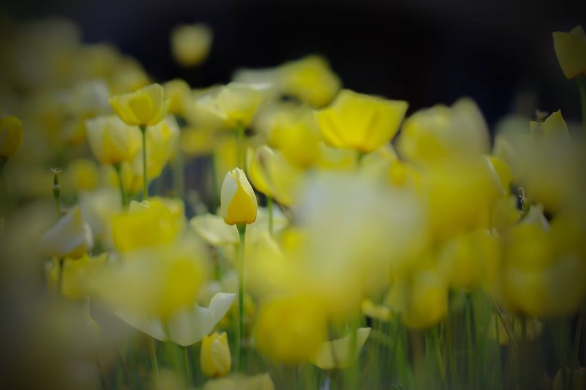 I am relieved. Because you can only find me out of the crowd Macro Yellow Flower Nature Beauty In Nature Fragility Close-up Freshness Blooming In My Garden Macro Beauty Macroclique Plant Petals Spring Flowers EyeEm Gallery Flowerlovers