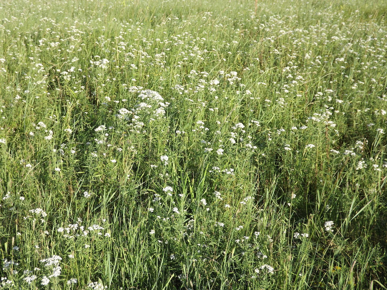 growth, nature, grass, plant, field, photosynthesis, green, beautiful, delicate, tranquility, tissue, landscape, no people, beauty in nature, outdoors, flower, freshness, day
