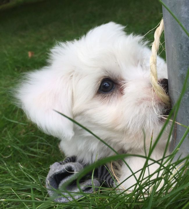 Puppy Whitepuppy Coton De Tulear  PuppyLove Playing Garden White Dog Having Fun 9 Weeks Old Dog Grass Rope Coton De Tulear  Puppy❤ IPhoneography
