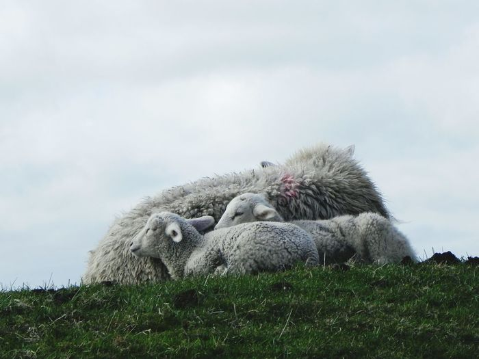 Northsea Dyke  Sheeps Mother Sheep With Two Lambsblue Sky And Clouds Animal Themes Nature No People Grass Outdoors Day Landscape NiceShot