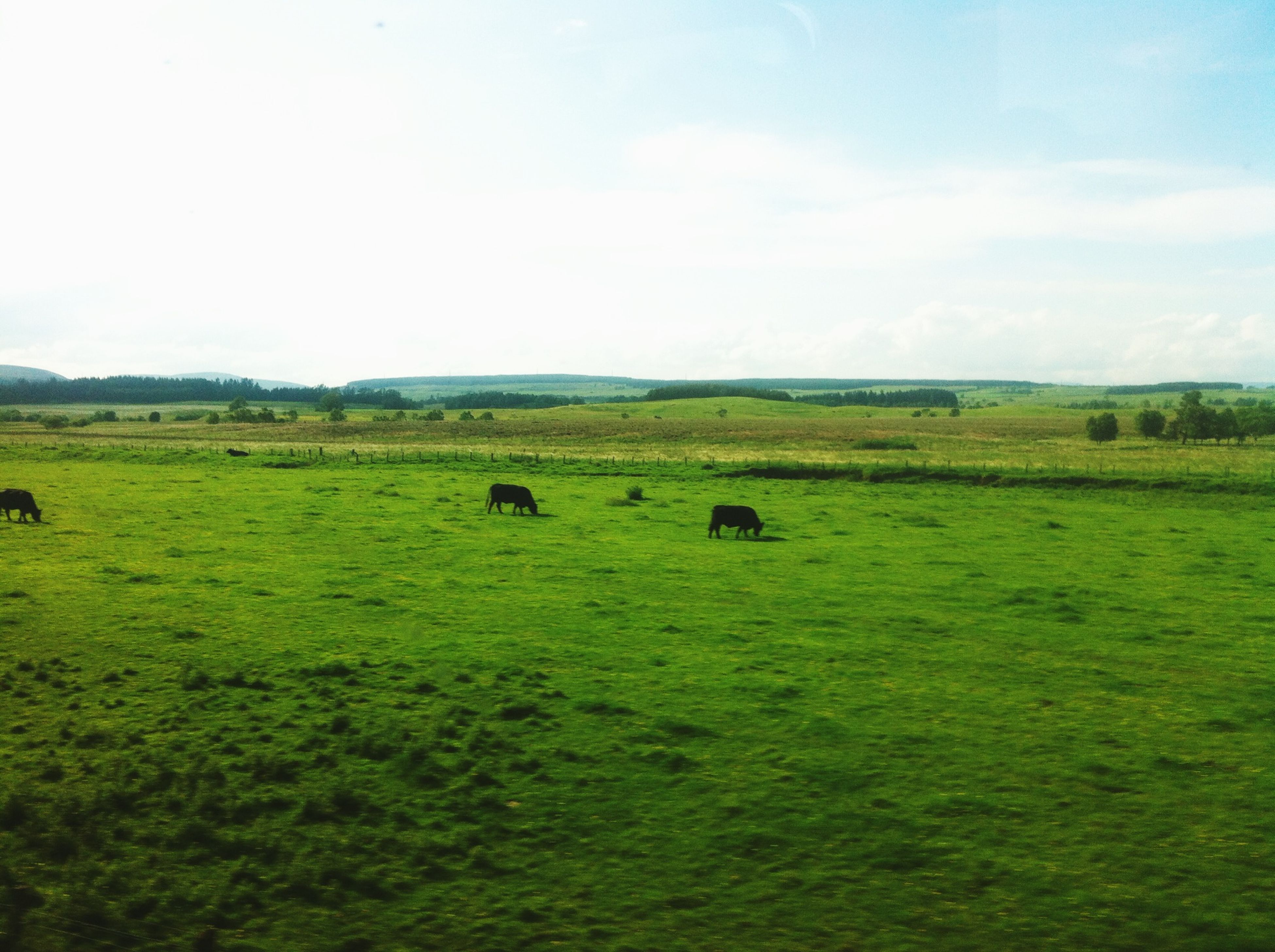 animal themes, grass, field, landscape, grazing, livestock, mammal, domestic animals, grassy, green color, nature, sky, tranquility, tranquil scene, rural scene, pasture, cow, beauty in nature, scenics
