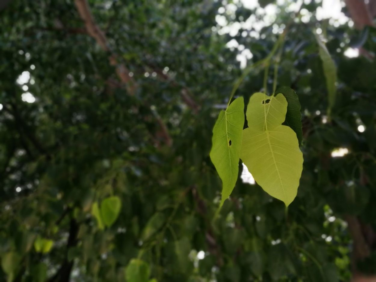Depth Of Field Focus On Foreground Leaf Bodhitree Freshness Plant Part Nature Plant Green Color