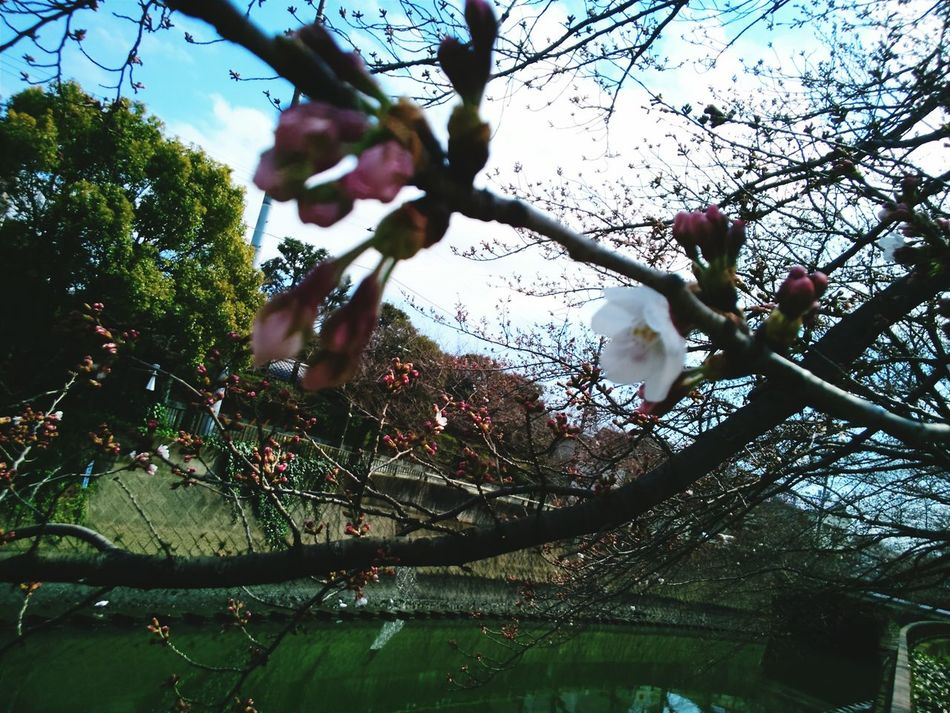 Cherry Blossoms Cherry Tree Cherry Blossom Viewing Japanese Spring Blossom Cherry Tree Flower