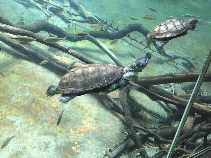 Aquarium Fish Nature Outdoors Turtles Turtles Swimming Underwater Wildlife In Action