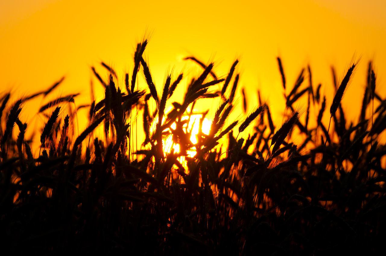 Wheat Sunset Orange RYE Wheat Wheat Field Cereal Plant Crop  Field Nature Silhouette Sunset