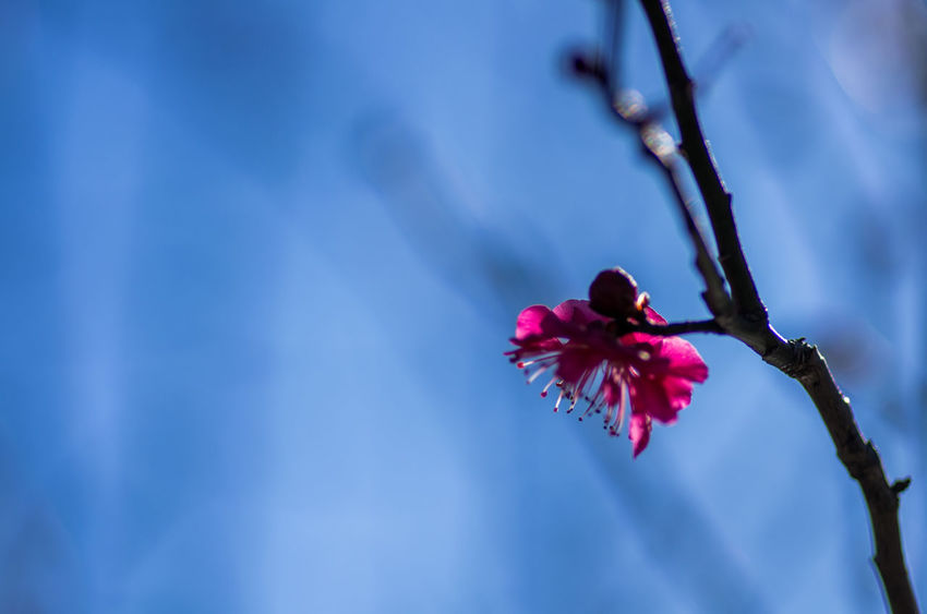Beauty In Nature Blooming Blossom Branch Close-up Day Flower Flower Head Fragility Freshness Growth Low Angle View Nature No People Outdoors Petal Pink Color Plum Blossom Springtime Tree Twig