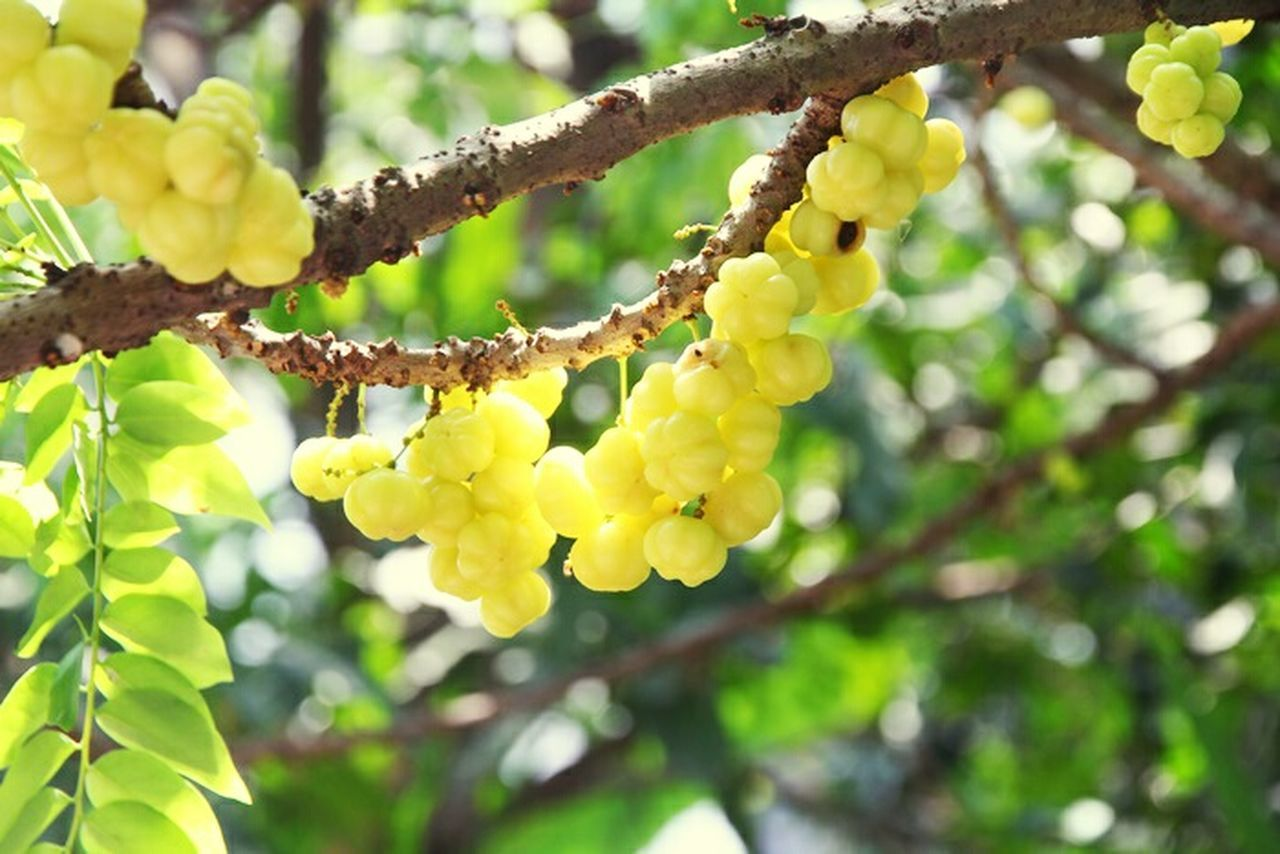 Star Fruit Outdoors Star Gooseberry Nature Green Color Yellow First Eyeem Photo