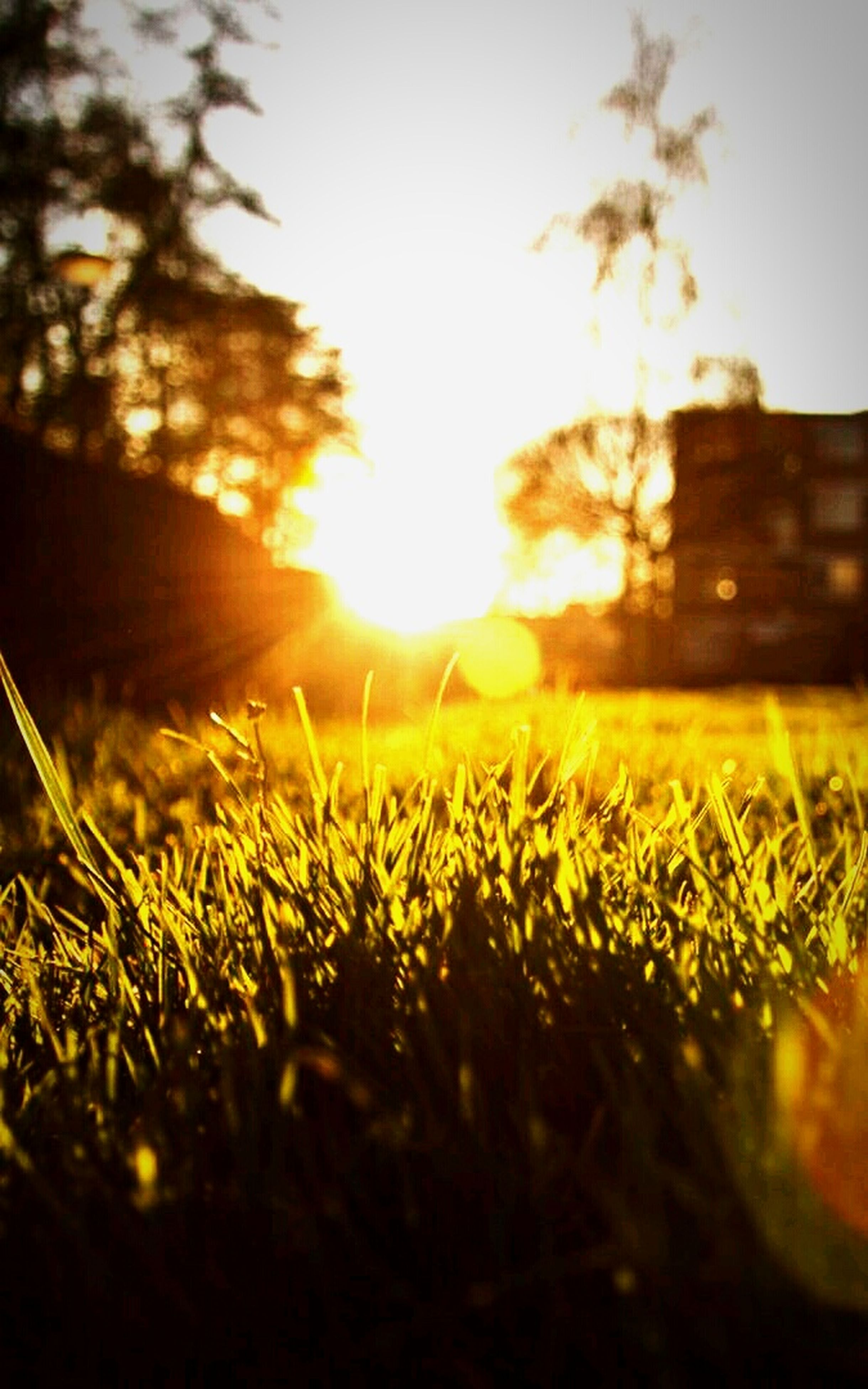 grass, sun, field, sunlight, lens flare, sunset, sunbeam, selective focus, surface level, grassy, growth, nature, tranquility, landscape, plant, focus on foreground, outdoors, tranquil scene, no people, green color
