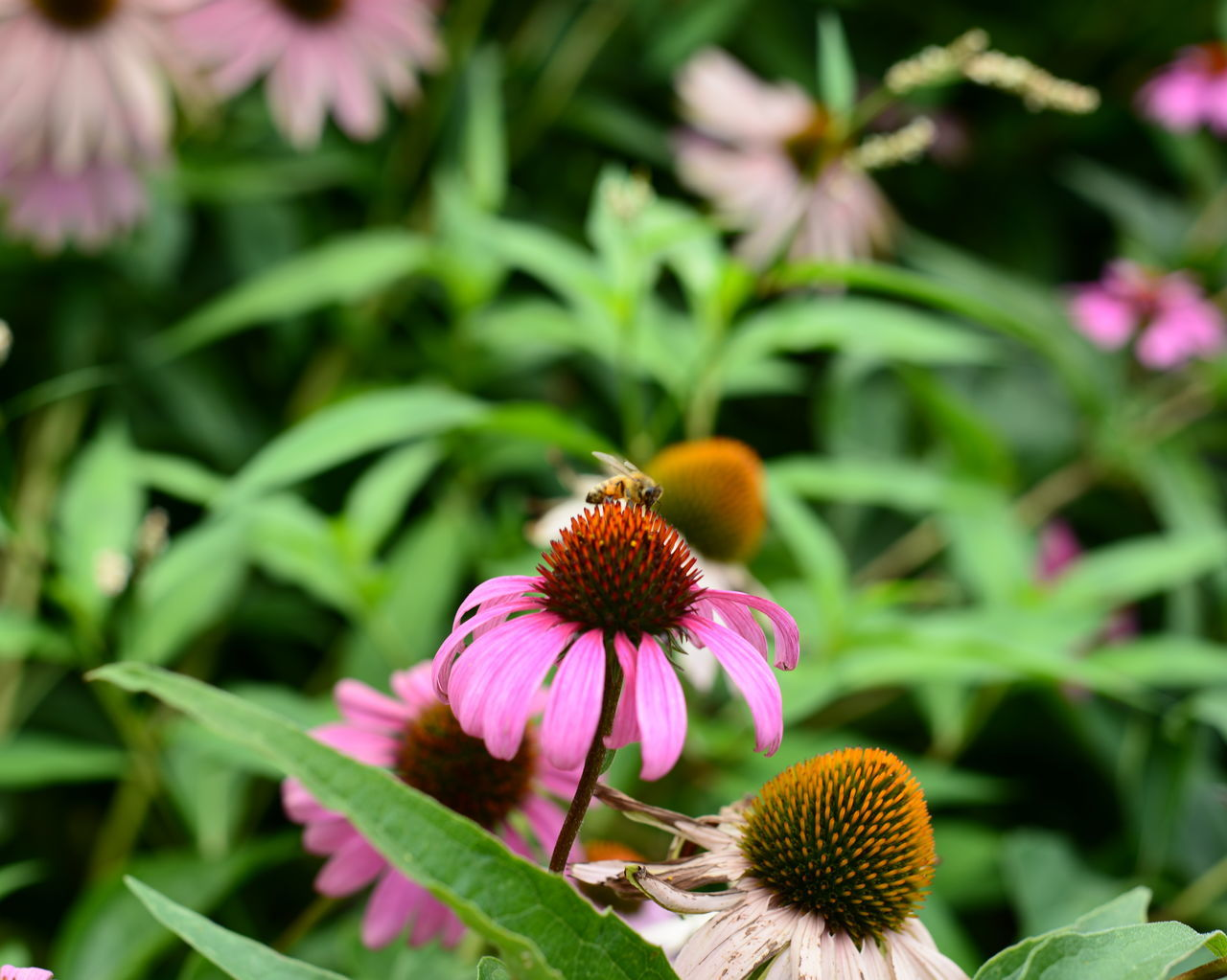 flower, growth, fragility, petal, nature, coneflower, freshness, flower head, beauty in nature, blooming, eastern purple coneflower, plant, pink color, day, pollen, outdoors, no people, close-up