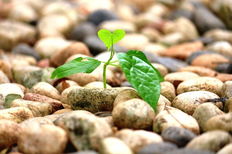 New life. :) Green Green Plant Pebble New Life & New Hope Green Foliage Blossom Nothing To Hide Plant In Between Stones Fresh Life