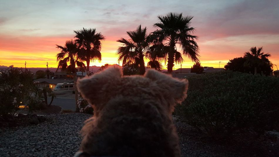 Dog Watching Sunset Sunset Tree Sky Palm Tree No People Animal Themes Domestic Animals Pets Sheep Mammal Outdoors Living Organism Nature African Elephant Day
