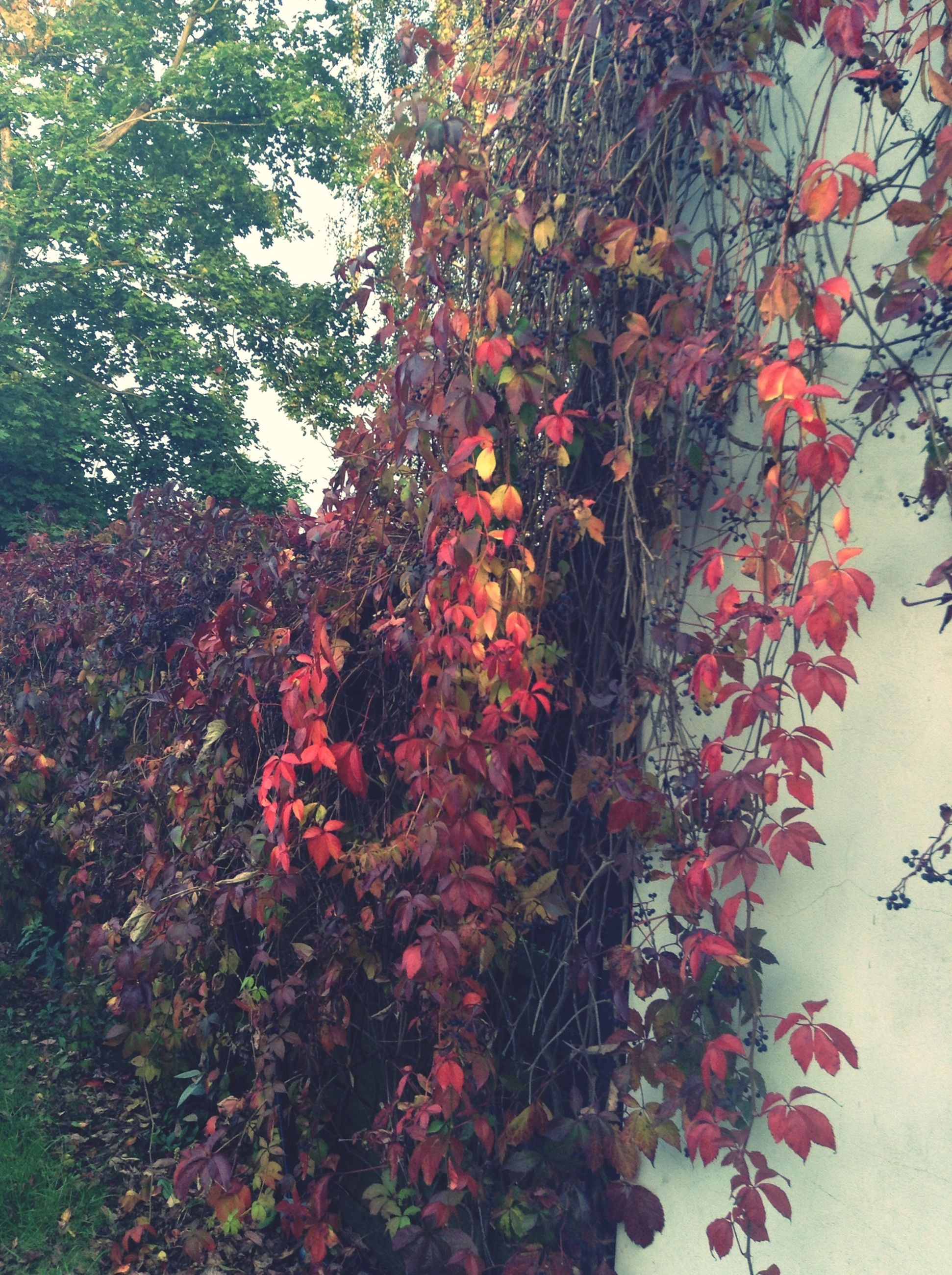 leaf, growth, tree, branch, autumn, red, nature, change, plant, orange color, beauty in nature, season, day, low angle view, no people, growing, outdoors, wall - building feature, sunlight, tranquility