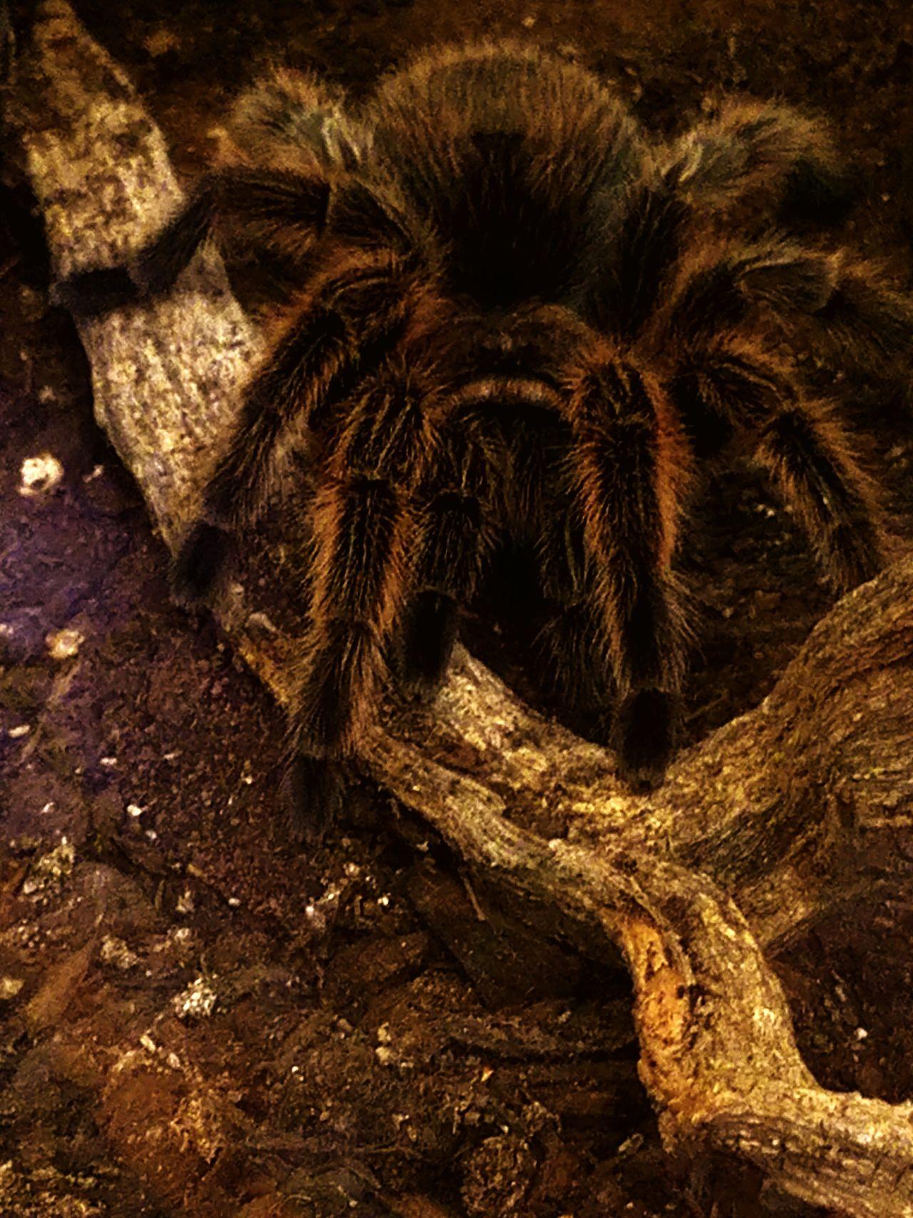 Turantula Spider Furry Spider Arachnid Arachnophobia