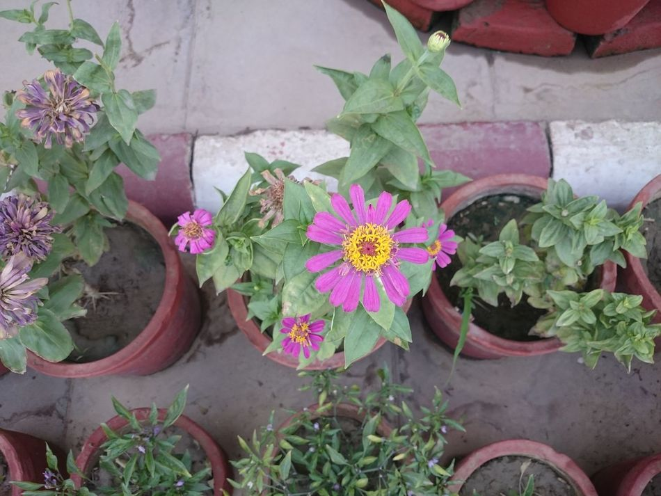 Many flowering plants, part of a decoration outside a building, in clay pots. When they all start flowering, the whole appearance looks great. Clay Plots Flower Flowering Plants Flowers Many Plants Multiple Plants Pink Flower Pink Flowers