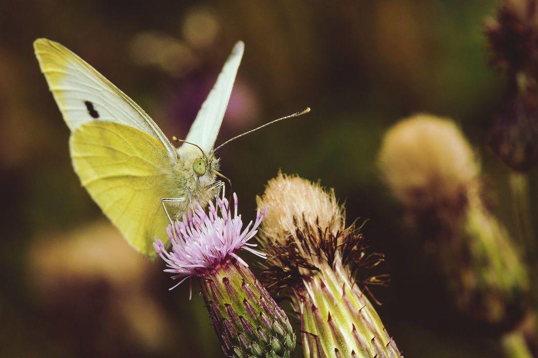 Sonya77ii Macro Insects Butterfly Butterflies Sommerfugl Sigma105mm