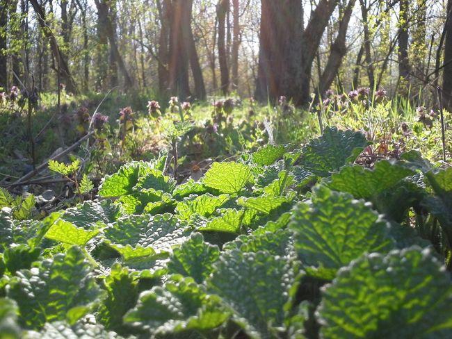 Forest and light Aljnövényzet Debreceni Nagyerdő Erdei Séta Erdő és Fény Forest Green Light Love Of Nature Nature Undergrowth Woodland Plant Zöld