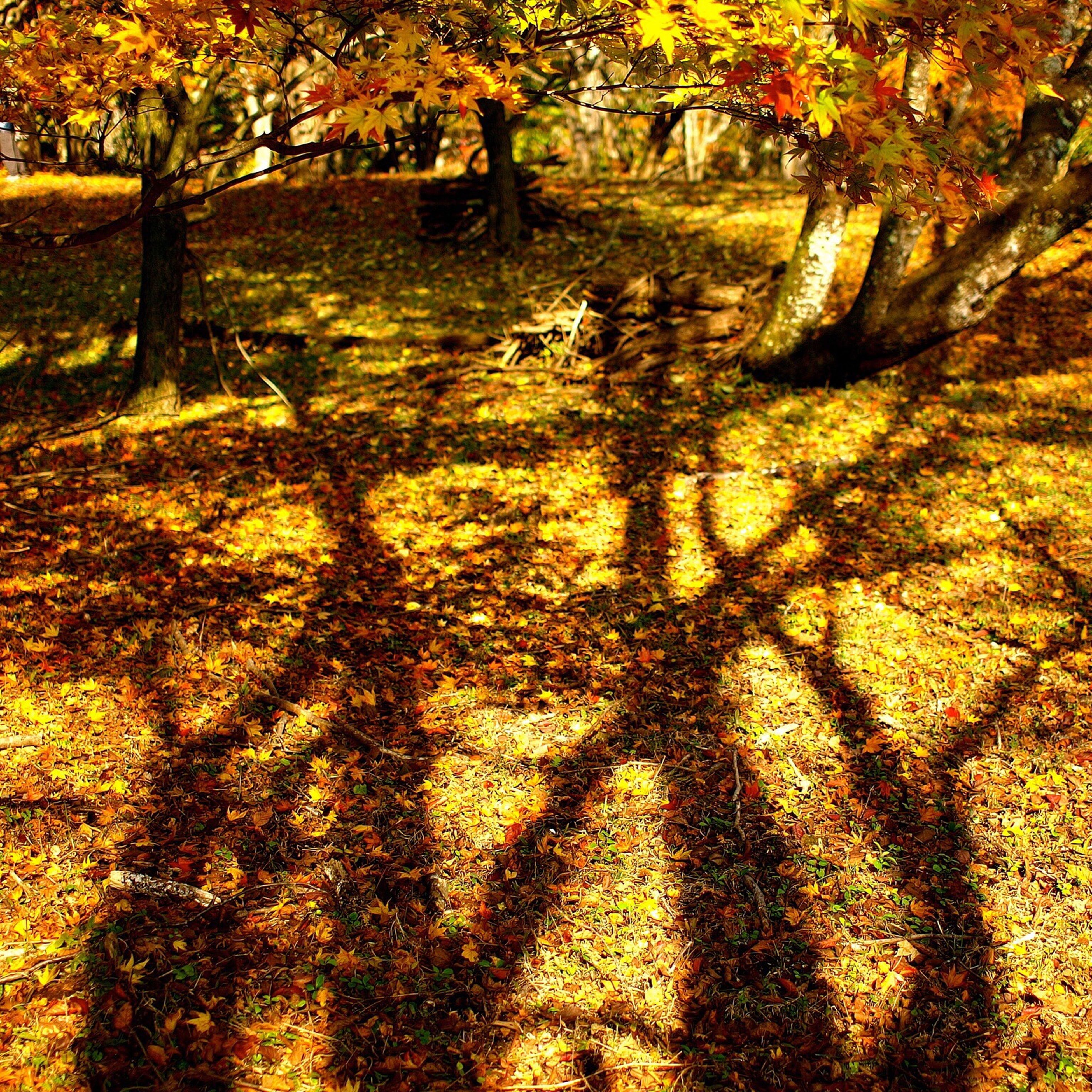 tree, yellow, orange color, autumn, growth, sunlight, nature, branch, tranquility, shadow, tree trunk, beauty in nature, change, sunset, tranquil scene, outdoors, scenics, season, park - man made space, no people