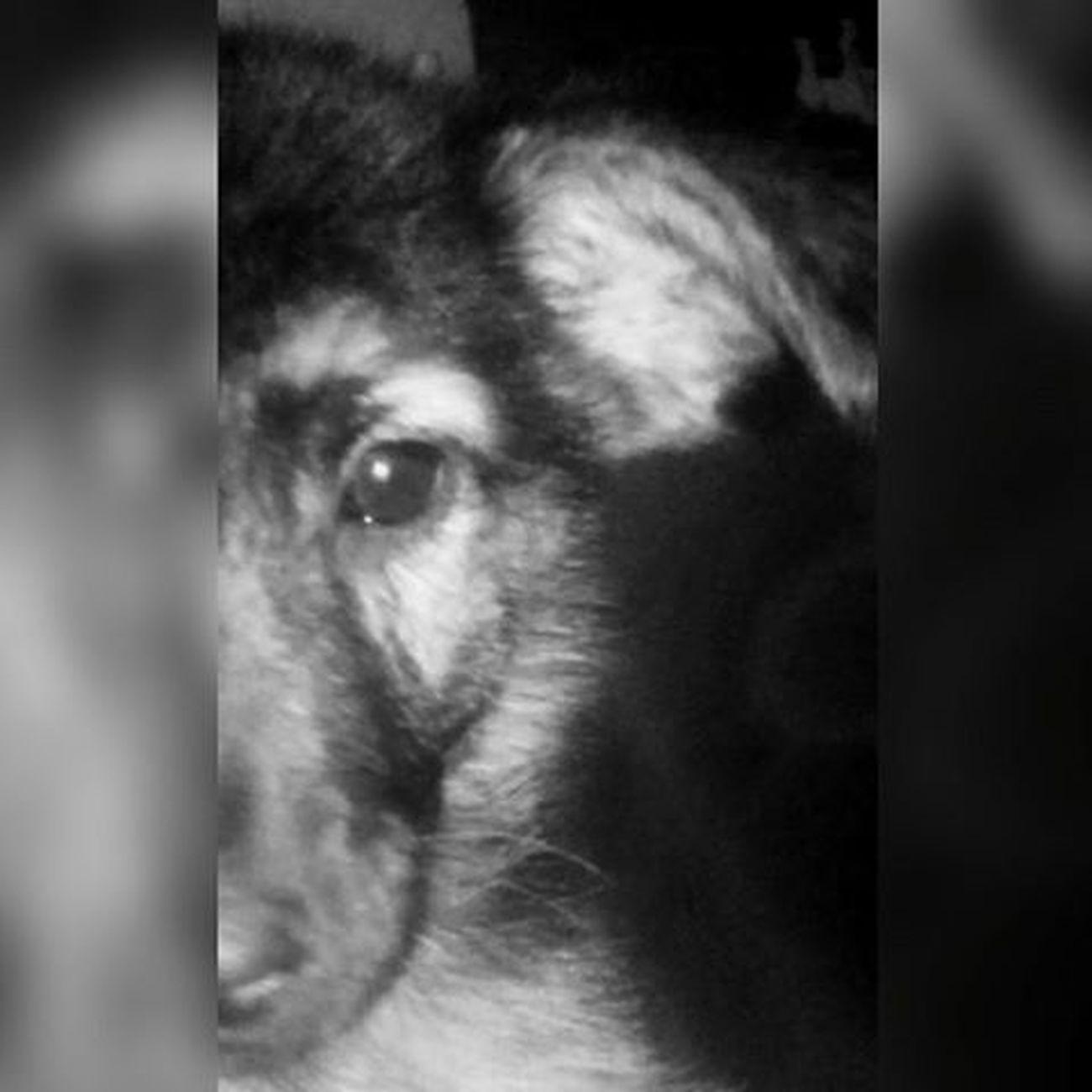 Baddog Bulldog Dog Mydog Animals Shady Ansia Instagood Instadog Instalike Stoned Followme Likeforlike Like4like L4l Lfl Followmydog Blackandwhite Gooddog Friends Dogfriends Realdog Cucciolo SHADY...