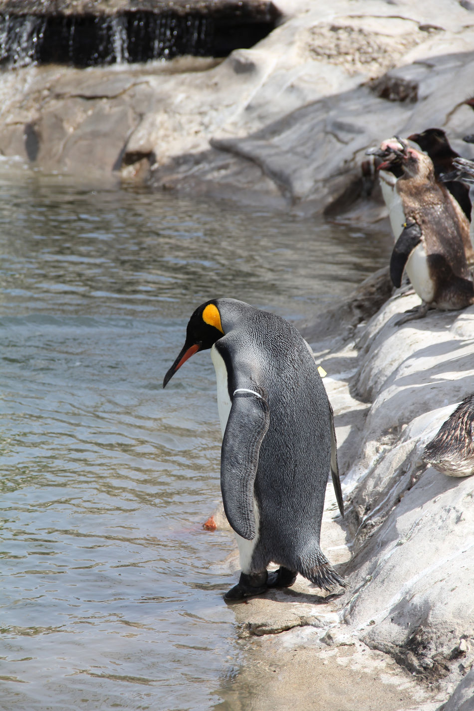 Beautiful stock photos of penguin, Animal Themes, Day, Full Length, Looking Down
