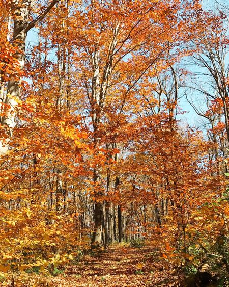 Autumn Tree Change Beauty In Nature Nature Leaf Orange Color Outdoors Growth Scenics Tranquility Day Sky No People