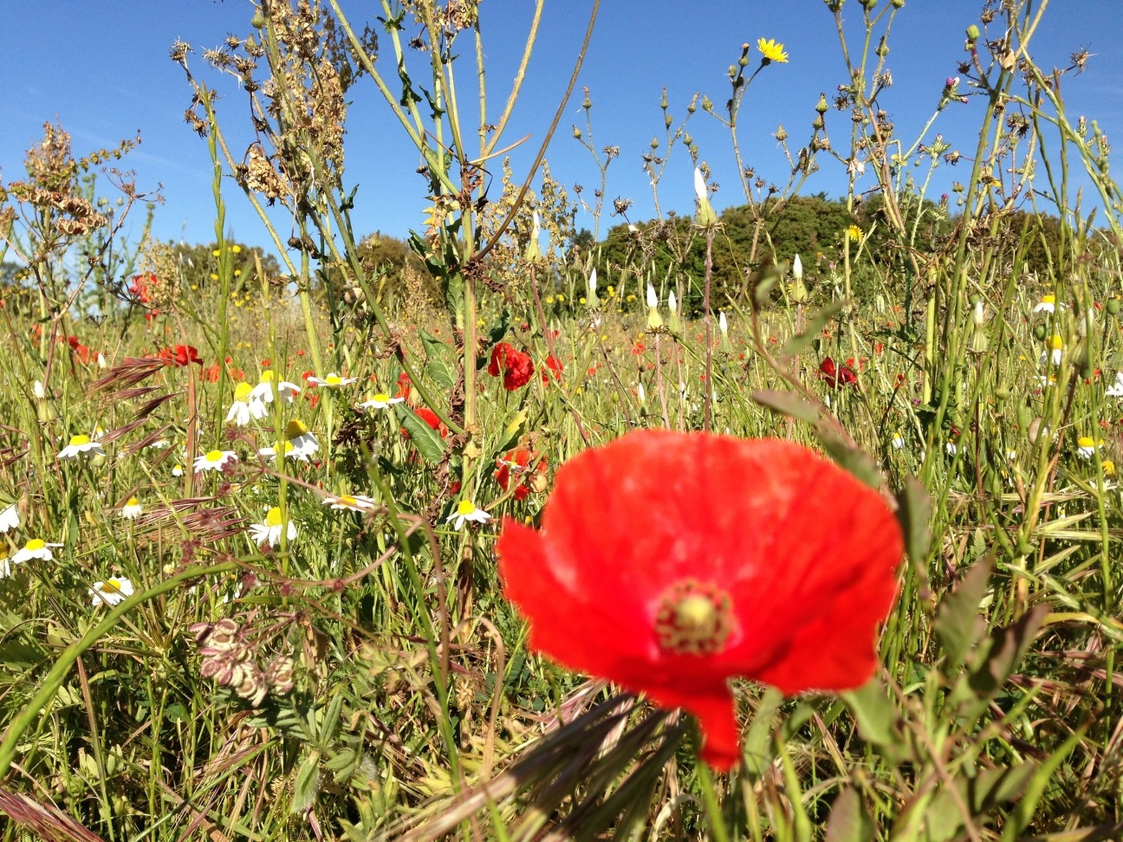 flower, freshness, growth, beauty in nature, red, fragility, petal, plant, nature, field, flower head, blooming, poppy, clear sky, sky, in bloom, blue, stem, tranquility, blossom