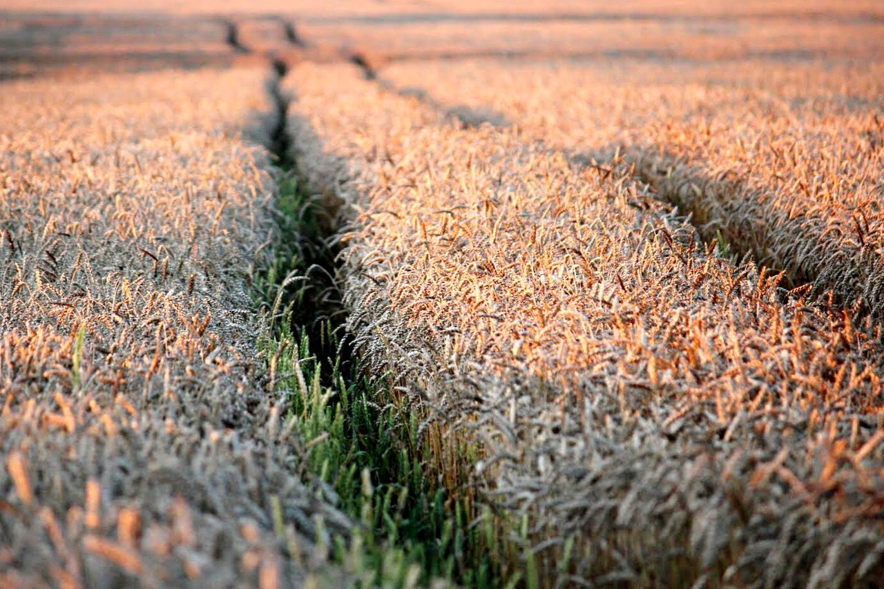 Nature Growth Field Agriculture Backgrounds Sunset Wheat Wheat Field