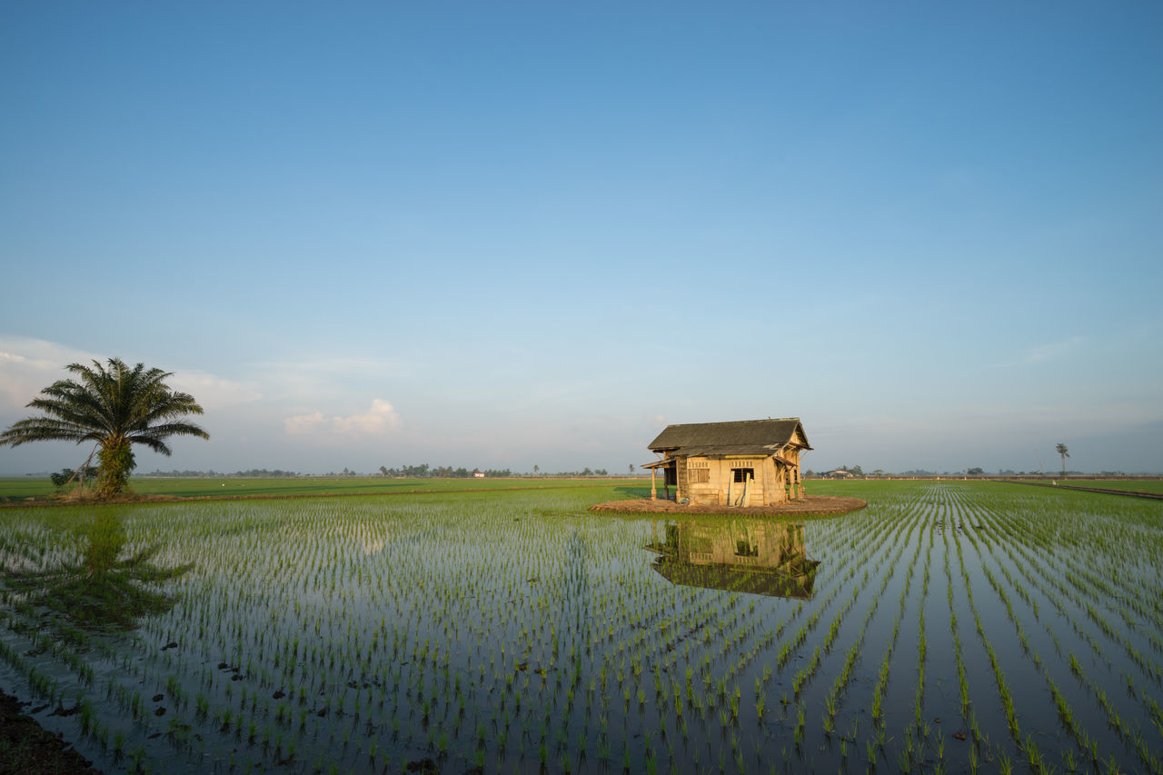 Abandoned wooden house in middle of paddy field with a sunrise sky in the background. Agriculture Architecture Beauty In Nature Blue Building Exterior Built Structure Clear Sky Copy Space Crop  Cultivated Land Day Farm Farmhouse Field Growth Landscape Nature Outdoors Plant Rural Scene Scenics Sky Tranquil Scene Tranquility Tree