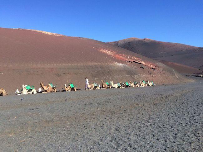 Desert Camel Lanzarote Lanzarote Island Canarias Sand Blue Sky Journey Vacation CF