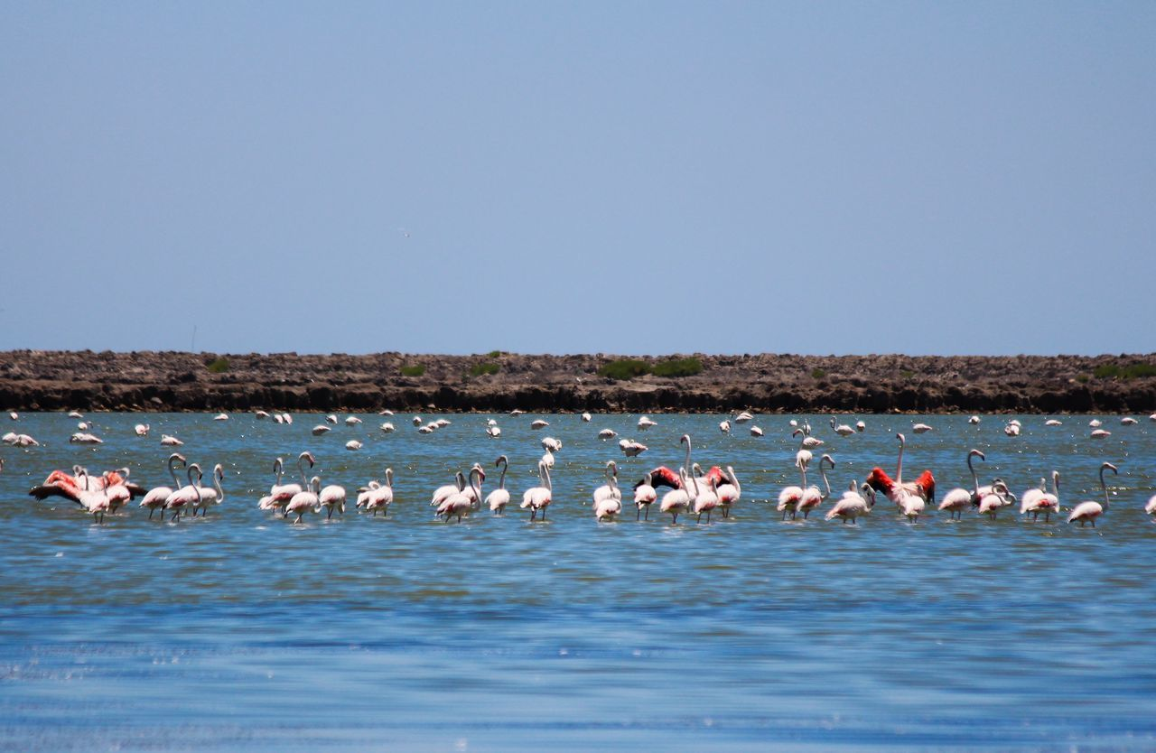 animals in the wild, bird, animal themes, large group of animals, copy space, flamingo, nature, animal wildlife, no people, day, beauty in nature, water, outdoors, flock of birds, clear sky, sky