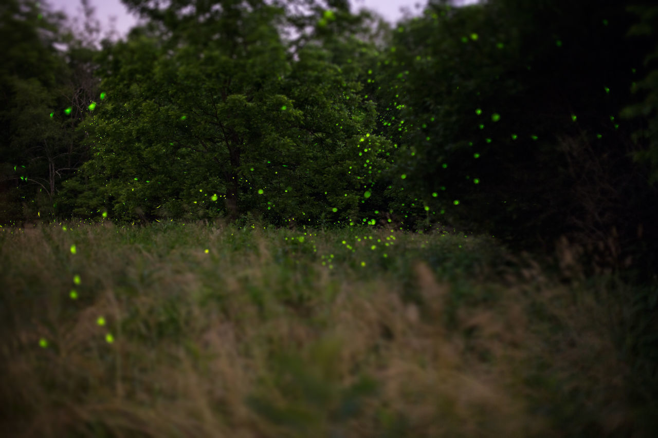 midnite fireflies Exposure Fireflies Fireflies In The Night  Grass Green Color Nature Outdoors Plant Tree Twilight